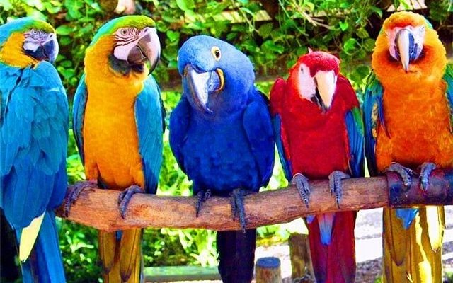 Попугаи домашние